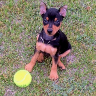 Mini Pinscher - the kind of pup I want!