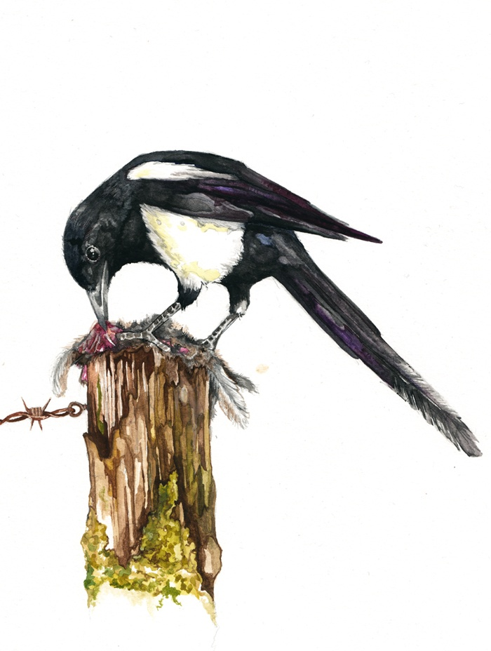 Magpie Watercolour.