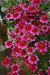 """Heaven's Gate Tickseed (Coreopsis rosea """"Heaven's Gate"""")"""