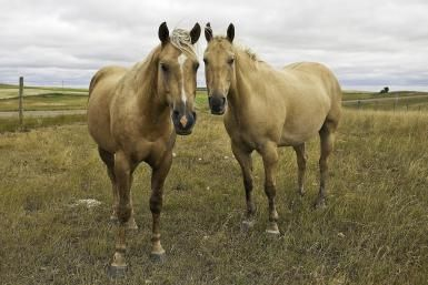 Meet The World's Most Popular Breed - The American Quarter Horse: American Quarter Horses can carry the gene for HYPP.
