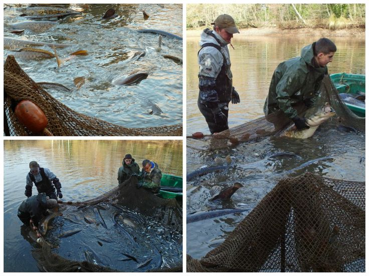 Just before Christmas we had the lake netted. This was to remove silver fish and small catfish. The operation was a great success. It was wonderful to see all our fish in one go and a great experience for us. These are just a few shots during during the day.