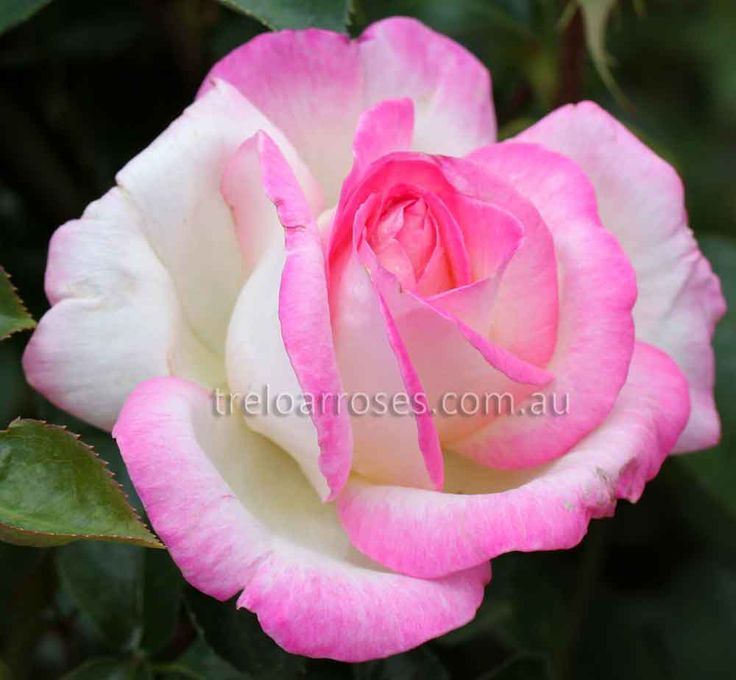 PRINCESS OF MONACO - (Meilland) - A strikingly beautiful rose of ivory edged pink, shows excellent form with 30 unfading petals. Growth is vigorous and upright, ...