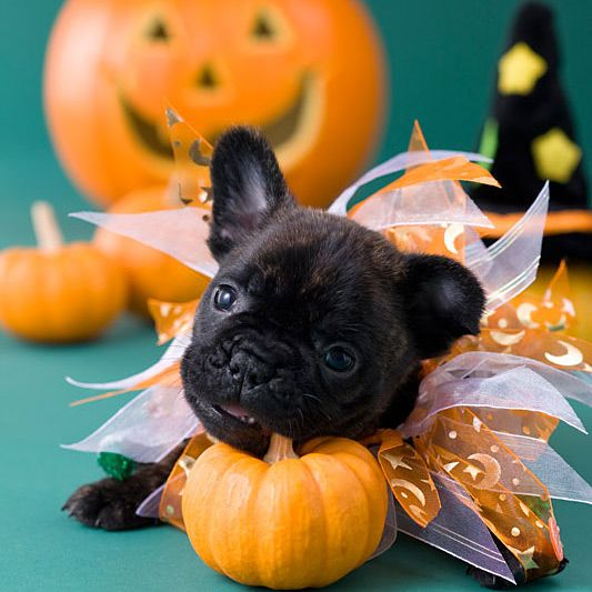 16 best Pets in Halloween Costumes images on Pinterest ...