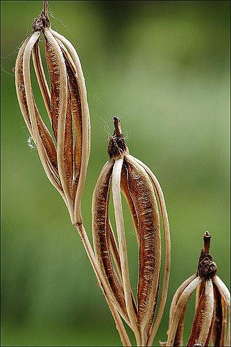 Cephalanthera longifolia Seed Pods by amadej2008 - Amadej Trnkoczy