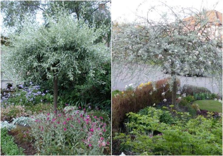 jardinet avec Poirier pleureur à feuilles de saule (Pyrus salicifolia Pendula)
