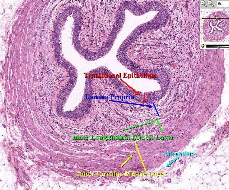 urinary bladder histology cross section urethra because. Black Bedroom Furniture Sets. Home Design Ideas