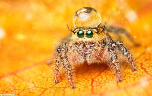 Spider wearing a water droplet as a hat.