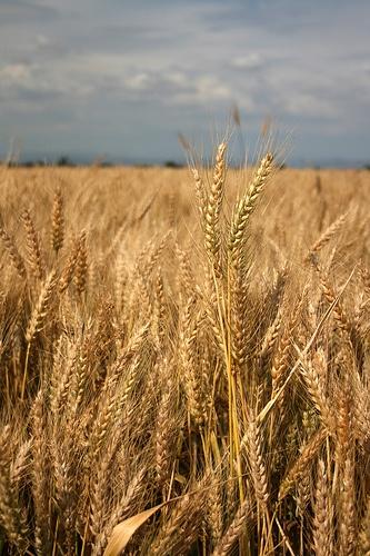 wheat fields of eastern Colorado, memories