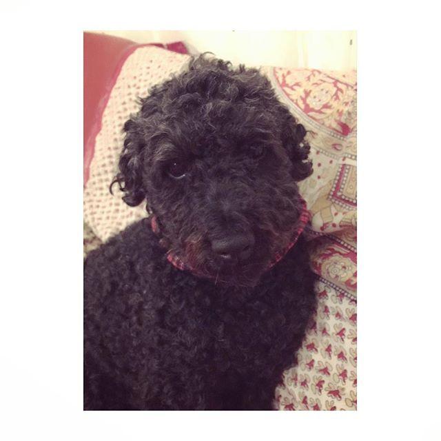 早く寝よ。。と無言の🐩 * たまの週末、夜更かしさせて(笑) * #お誘い#早く寝たいらしい#お先にどうぞ#おやすみなさい#愛犬#犬と#犬と子供#犬との暮らし#犬のいる暮らし#プードル#黒プー#ミディアムプードル#悪戯っ子#ちょっと工夫で#この可愛いさ#親ばか#君かわうぃーね #poodle#poodles#blackpoodle#poodlesoffical#minaturepoodle#poodlesofinstagram#dogsofinstagram#doggylifestyle#pawsomepoodles#cooldog