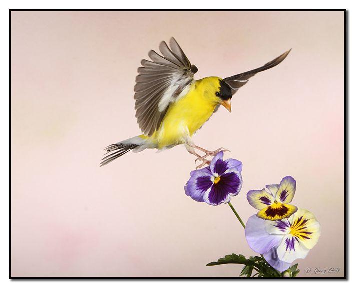 american goldfinch | Birds | Pinterest | Photos, Pansies ...