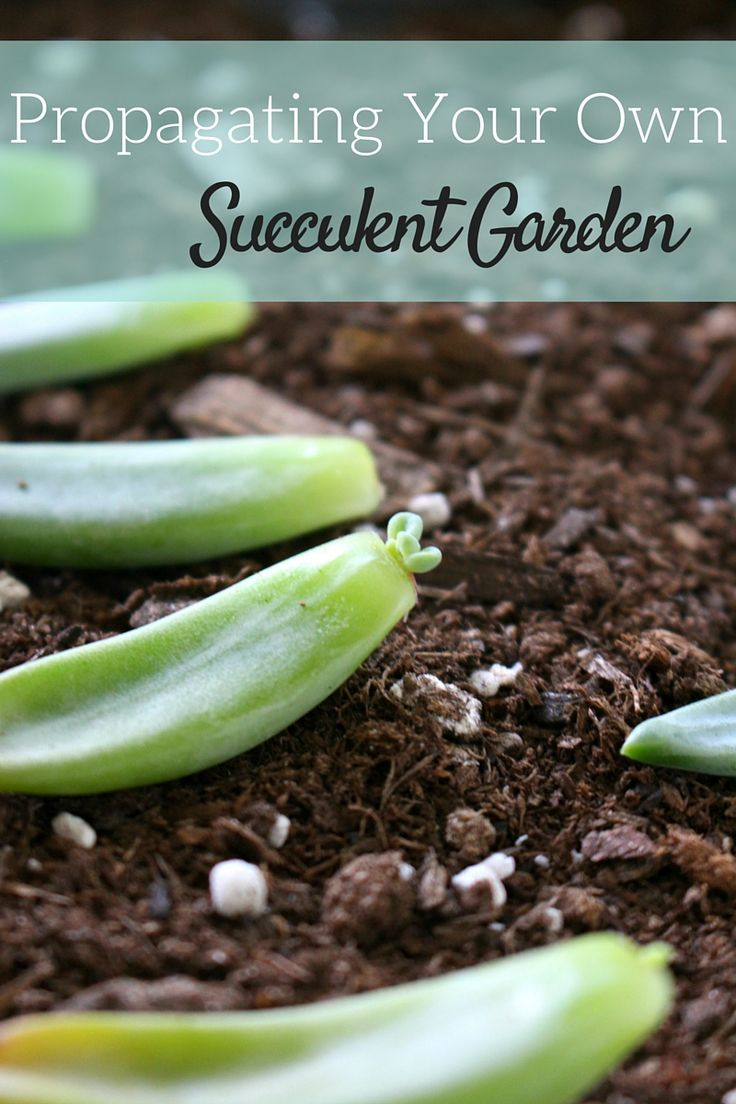 Step by step guide on how to propagate your own succulent garden. Easy and inexpensive diy for beginners including everything you'll need to get started.