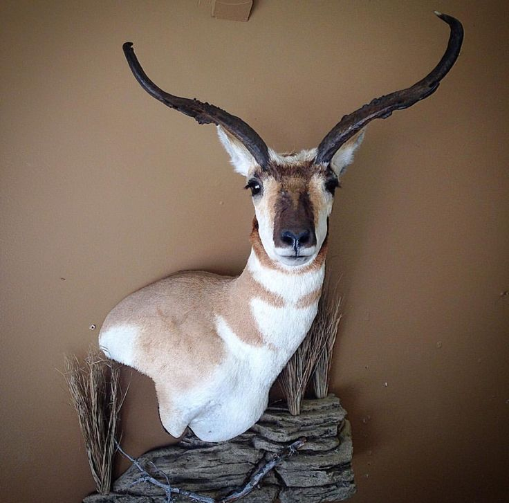 49 Best Images About Antelope Mounts On Pinterest Horns