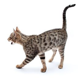 Meaning of Cat Tail Movements | Cat tail wags can signal stress or warn people to give the cat a ...