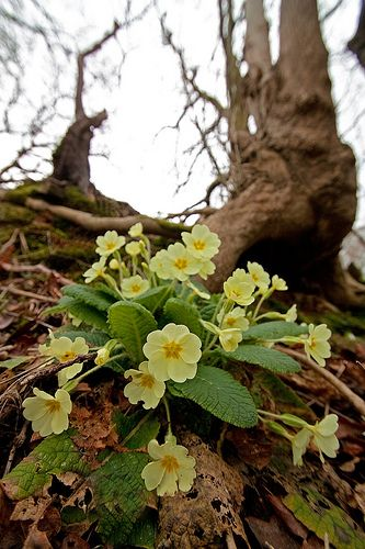 one of the first Signs of Spring: ....... Yellow Primroses (Primula vulgaris)
