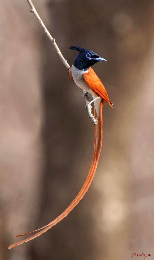 Apanhador de mosca do Paraíso (Terpsiphone paradisi). Esta ave é do gênero Monarchidae, que habita toda a África e Ásia. Os habitats incluem florestas tropicais, savanas, mangues, matas ciliares, e bosques de bambu além de jardins e campos cultivados. A característica mais notável do gênero são as flâmulas longas da cauda dos machos de muitas espécies. Além das caudas longas os machos e as fêmeas são sexualmente dimórficos e têm plumagem ruiva, preta e branca.  Fotografia: Divya.