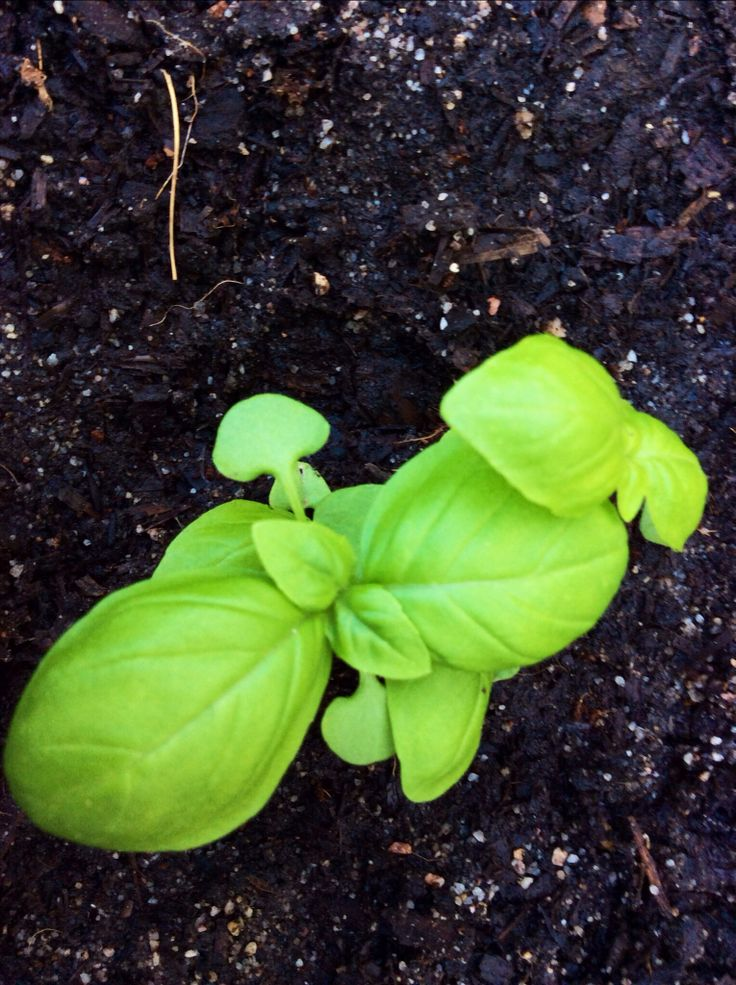 #Sweet basil loves sunlight. It's best to pick the leaves before the plant flowers. Stark Ayres stocks these Italian beauties.
