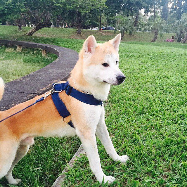 Pin for Later: The 10 Most Expensive Dog Breeds Akita Puppy price: $4,500 and up