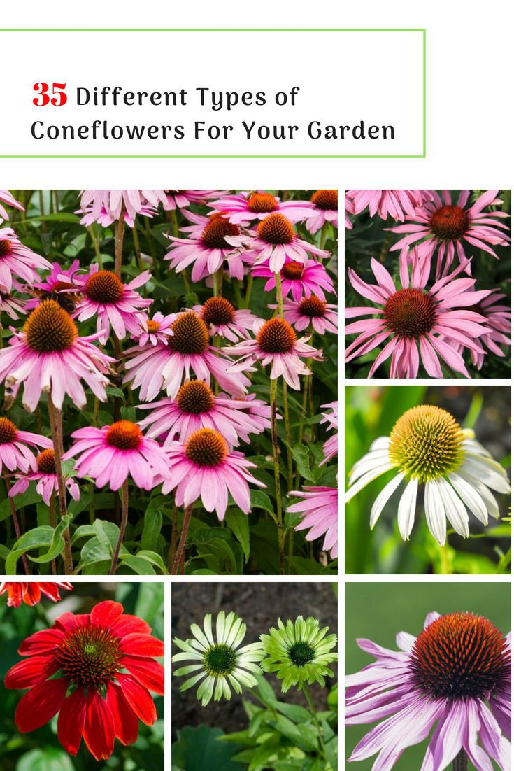 35 Different Types Of Coneflowers For Your Garden Garden Flower