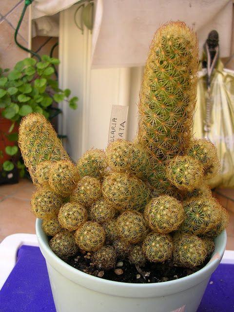 Mammillaria Elongata : Cactus y Suculentas de Amanecer