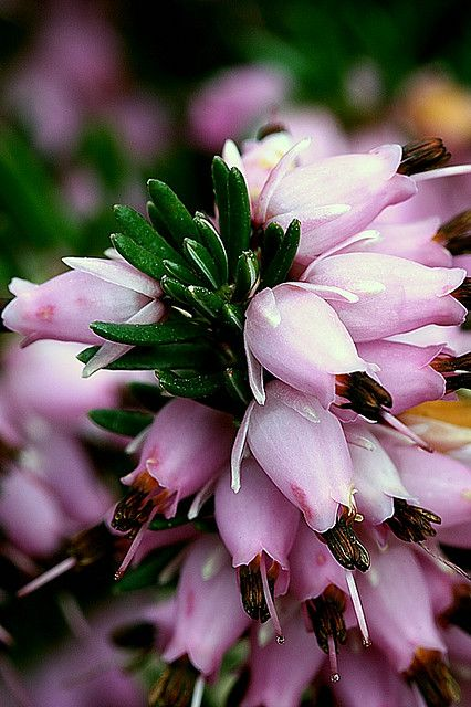 erica cinerea 'pink ice': Erica cinerea (bell heather, or heather-bell) is a species of flowering plant in the family Ericaceae.