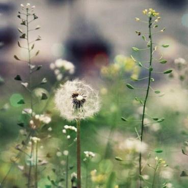 wishing on dandelions. {The Pretty Blog}