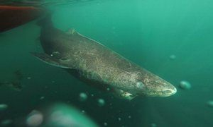 400-year-old Greenland shark is oldest vertebrate animal | Environment | The Guardian
