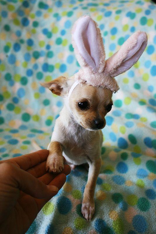 high five bunny chihuahua!
