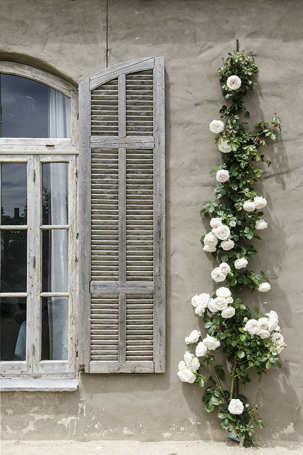 ♕ how completely beautiful these white roses are