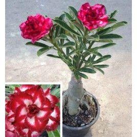 Rosa del Desierto 'Chai Lai (Adenium híbrido)