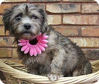 2/24/17 Benbrook, TX - Havanese Mix. Meet Moxley, a dog for adoption. http://www.adoptapet.com/pet/17646919-benbrook-texas-havanese-mix
