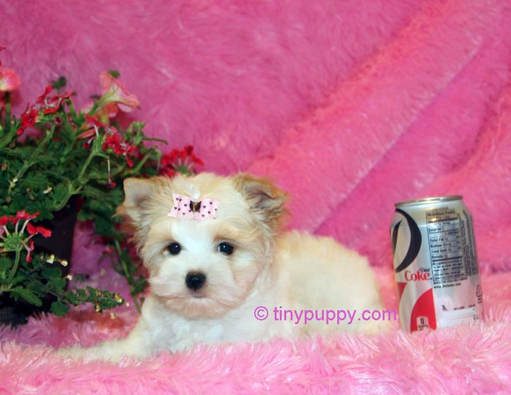 Teacup yorkie puppies for sale in texas