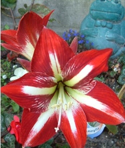 57 best gardening tips images on pinterest gardening for Bulbes amaryllis conservation