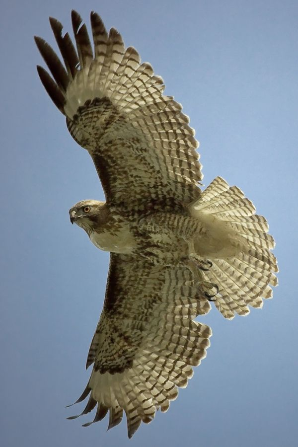Hawk in flight - titled 'Hawk Feathers' - click to see 20 Marvelous  Pictures of Hawks.
