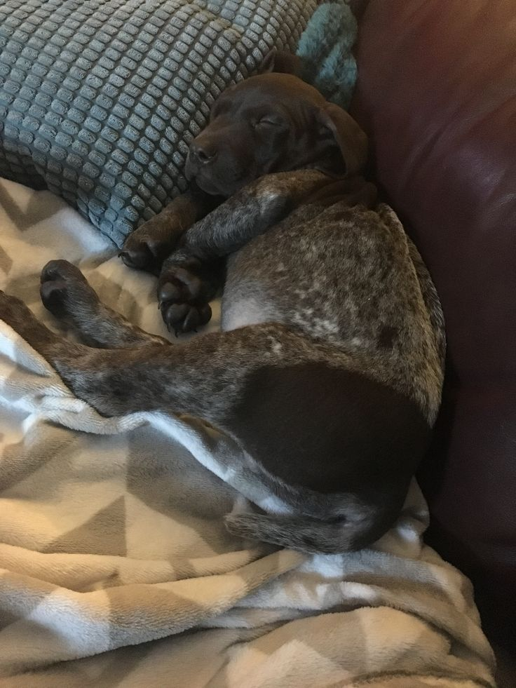 GSP puppy, Raider, taking a snooze.