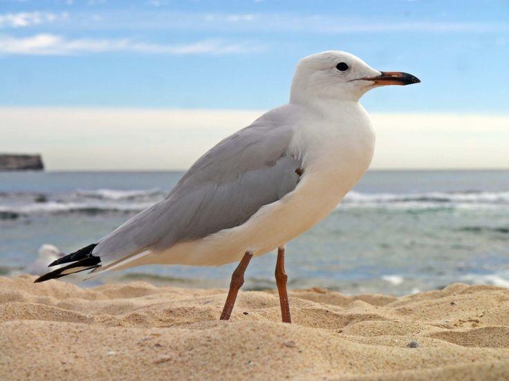 Seagull, Seagulls on the Beach, Beach, Send, Sky, Australia, Nnature, Birds, Bird, Australia