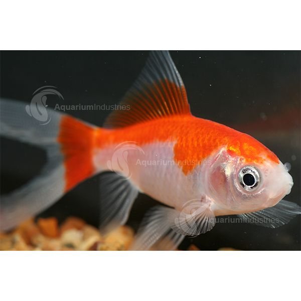 The Comet is a popular widely available straight tailed Goldfish. Aquarium Industries stock red, white & golden comets. More info on our website.
