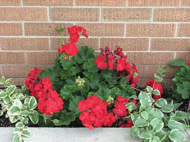 Geraniums, in red, and vinca vines!  I love the planter in front of my house!