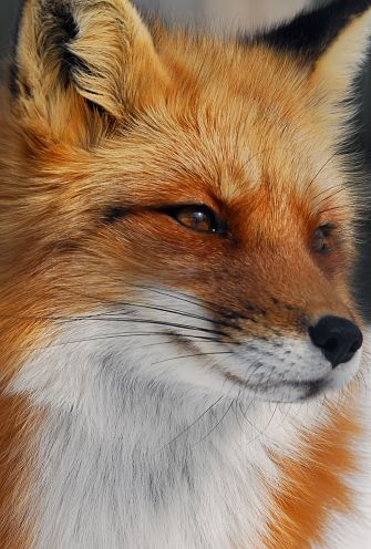 Fox Facts - Animal Facts Encyclopedia
