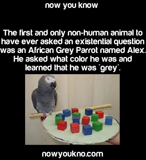 merrywanderer:  incidentalpiratess:nowyoukno:greenvvhore:nowyoukno:Source for more facts follow NowYouKno   did koko never ask anything?  Koko, as well as the other Gorillas that were taught sign language, don't ask the same types of questions. They seem to be incapable of understanding the concept of another being understanding something they don't. Koko may ask someone to hand her something, but she won't ask questions about an item because if she doesn't understand it she will assume that…