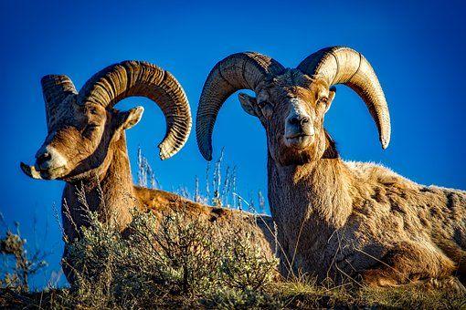 Borrego, Ovejas, Rams