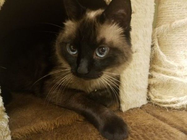 Siamese Cat For Adoption In The Colony Texas Baby In The Colony Texas Cat Adoption Dog Adoption Siamese Cats