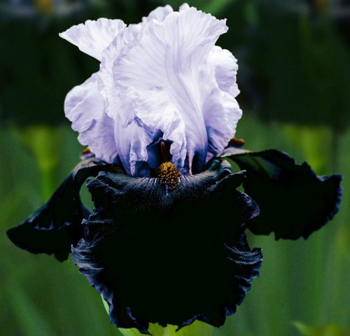 Not my photo. Bearded Iris Dangerous Mood - just planted