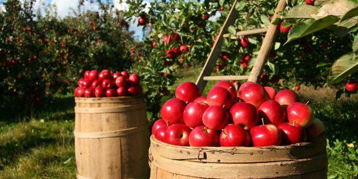 Napi 1 alma - az orvost távol tartja - Holistic Pont Angyalföld