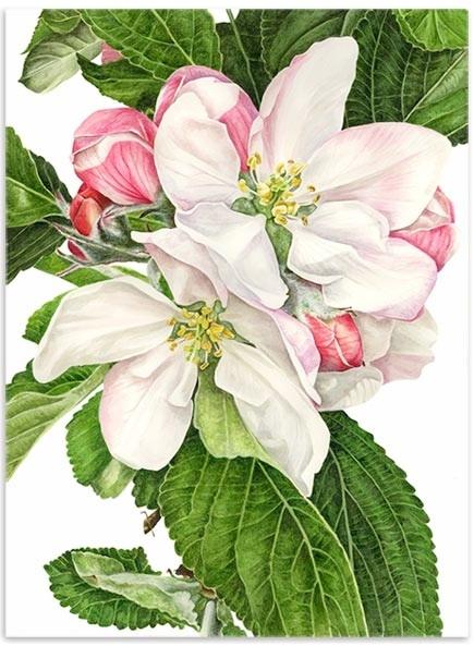 Fleur de pommier  'JAMES GRIEVE'