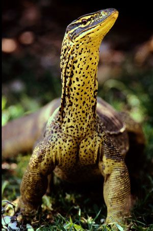 The goanna ('go-anna') is an Australian reptile that is also known as the monitor lizard. Some species of goanna can grow up to 2 m (around 6 ft) long.