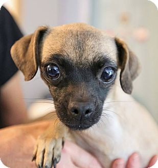 Hagerstown, MD - Pug/Chihuahua Mix. Meet Lil Bit, a dog for adoption. http://www.adoptapet.com/pet/18473867-hagerstown-maryland-pug-mix