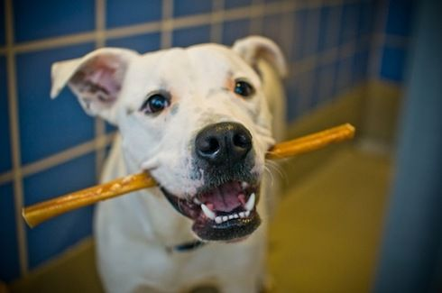 Article. 1/29/2013. New study reveals bully sticks high in calories and can harbor harmful bacteria