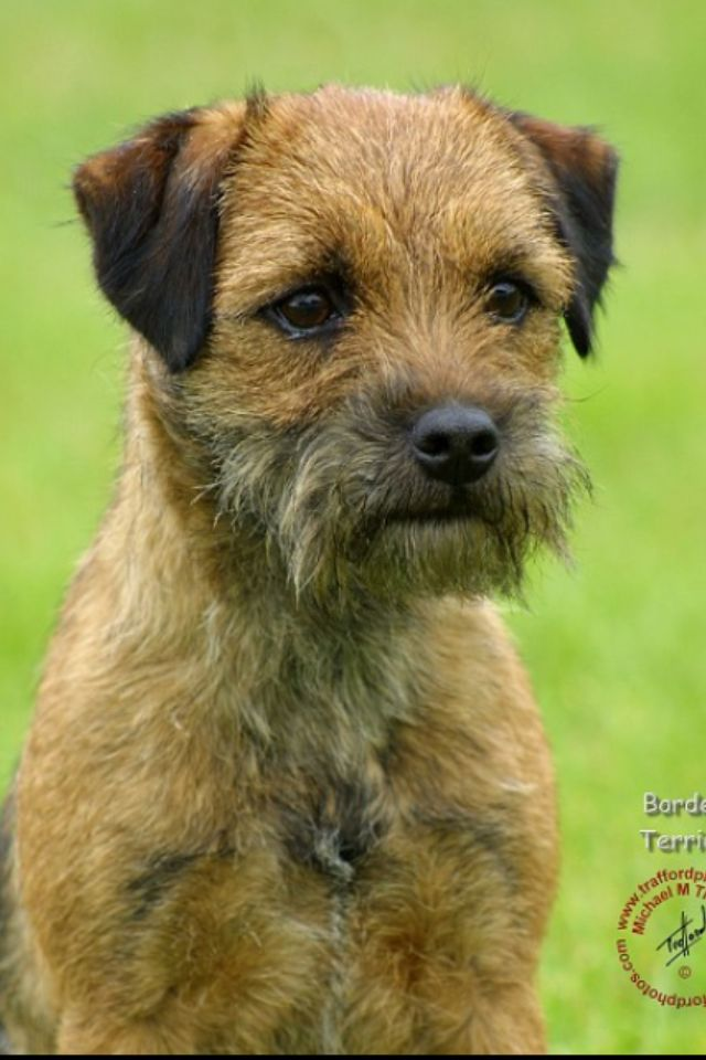 Border Terrier. Hypoallergenic and the perfect lap-sized dog!