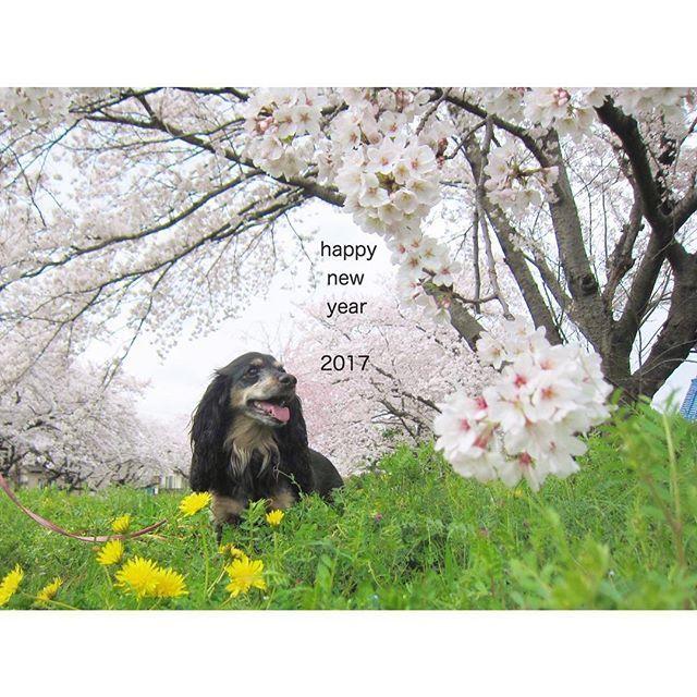 【8oo__】さんのInstagramをピンしています。 《あけましておめでとうございます。 . 2016年、大切な人ができました。 感謝感謝の去年。みんなにありがとう。 今年もよろしくお願いします。❀ . #dog #アメリカンコッカースパニエル #ダックス #cockerspaniel #dachshund #愛犬 #わんこ #ミックス犬 #ぼくばろん #桜 #たんぽぽ #春》