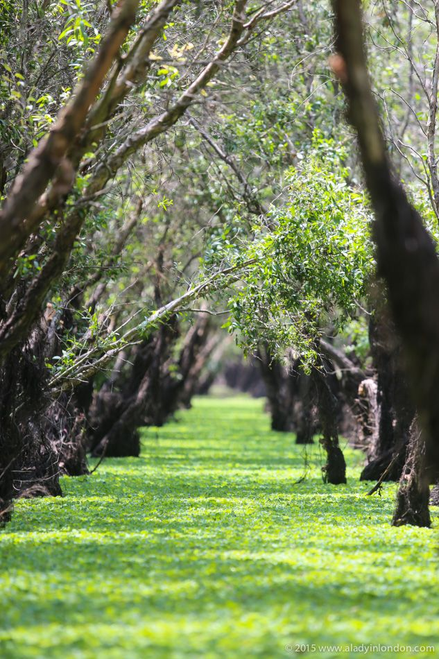 blog-Mangroves in the Mekong Delta